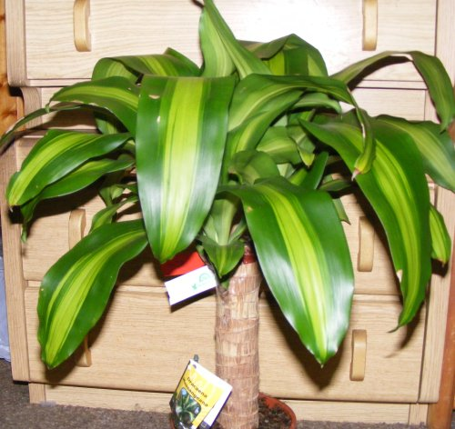 dracaena fragrans massangeana jk 39 s pflanzenblog. Black Bedroom Furniture Sets. Home Design Ideas