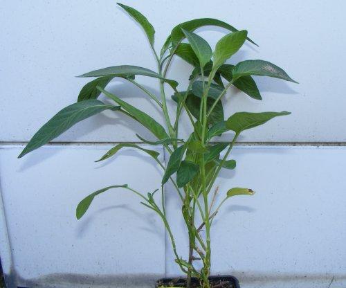 nicht winterharte pflanzen