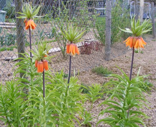kaiserkrone fritillaria imperialis bl te jk 39 s pflanzenblog. Black Bedroom Furniture Sets. Home Design Ideas