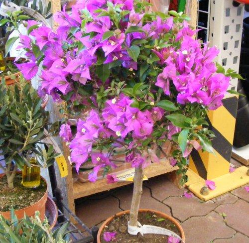 Bougainvillea/drillingsblume | Jk's Pflanzenblog Exotische Pflanzen Garten Bougainvillea Drillingsblume