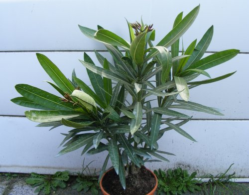 nerium oleander und panaschierter oleander jk 39 s pflanzenblog. Black Bedroom Furniture Sets. Home Design Ideas