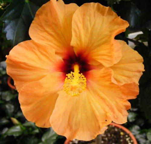 Zimmer hibiskus bl ten show jk 39 s pflanzenblog - Pflegeleichte zimmerpflanzen mit bluten ...