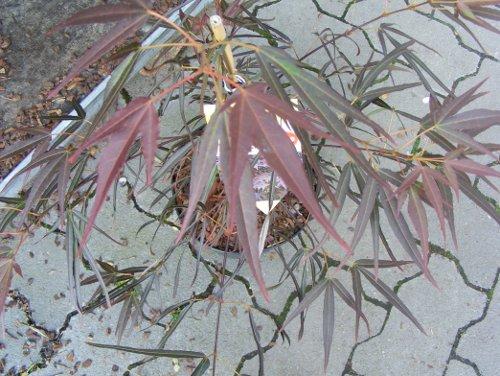 f cher ahorn acer palmatum verschiedene sorten jk 39 s pflanzenblog. Black Bedroom Furniture Sets. Home Design Ideas
