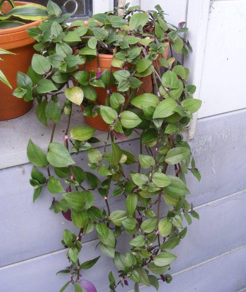 Dreimasterblumen jk 39 s pflanzenblog for Kleine zimmerpflanzen