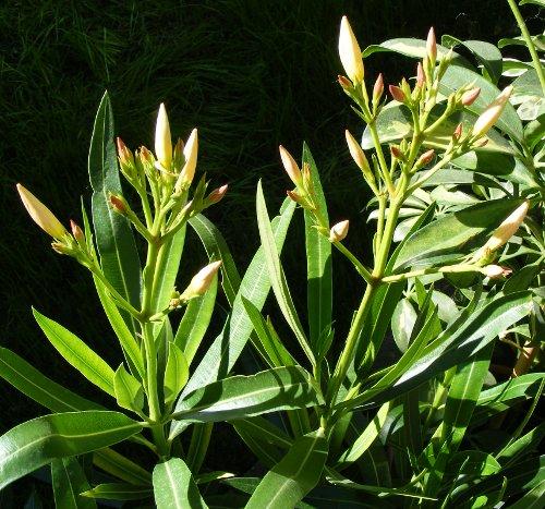 nerium oleander bl ten news jk 39 s pflanzenblog. Black Bedroom Furniture Sets. Home Design Ideas