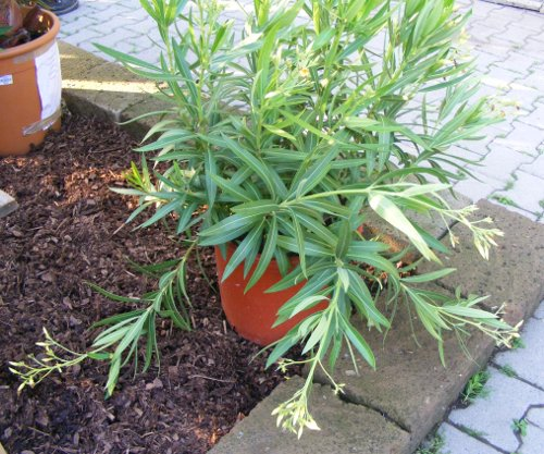 nerium oleander gelb mit riesen bl ten jk 39 s pflanzenblog. Black Bedroom Furniture Sets. Home Design Ideas