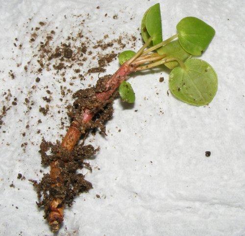 ufopflanze pilea peperomioides ableger jk 39 s pflanzenblog. Black Bedroom Furniture Sets. Home Design Ideas