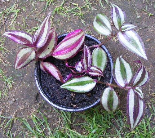 hänge-tradescantia/dreimasterblume sortenvielfalt | jk's pflanzenblog, Gartenarbeit ideen