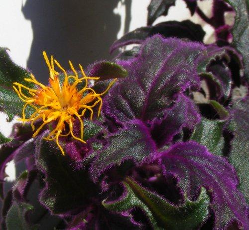 pflanze mit lila haaren jk 39 s pflanzenblog. Black Bedroom Furniture Sets. Home Design Ideas