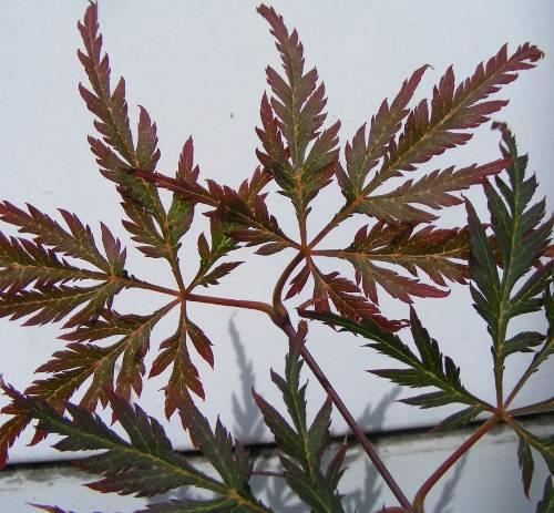 f cherahorn acer palmatum atropurpureum orangeola. Black Bedroom Furniture Sets. Home Design Ideas