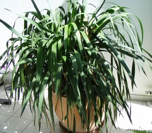 yucca palme jk 39 s pflanzenblog. Black Bedroom Furniture Sets. Home Design Ideas
