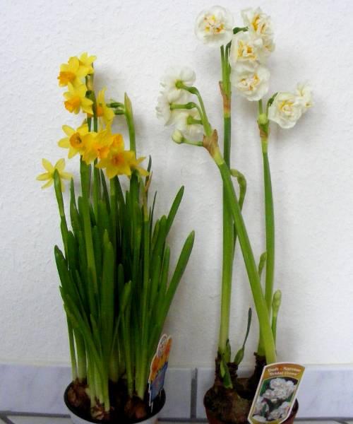 narzissen blüten aussamen