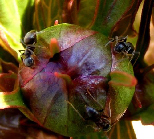 ameisen auf den knospen der gemeinen pfingstrose paeonia officinalis jk 39 s pflanzenblog. Black Bedroom Furniture Sets. Home Design Ideas