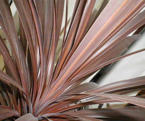 keulenlilie cordyline australis jk 39 s pflanzenblog. Black Bedroom Furniture Sets. Home Design Ideas