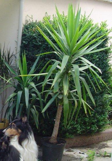 jk 39 s forum thema anzeigen yucca und drachenbaum vermehren k rzen. Black Bedroom Furniture Sets. Home Design Ideas